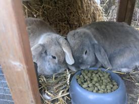 Two female lop earred bunnies