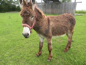 Standard Jack Donkey
