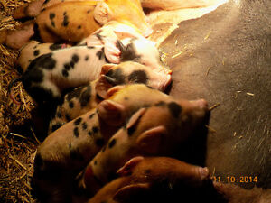 Pigs - meat or breeding stock