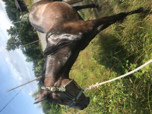 3 year old qh grade horse