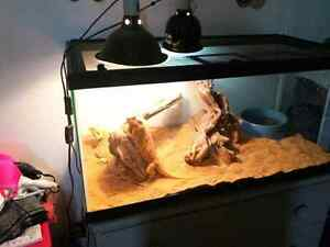 Red Leatherback & Citrus Hypo Bearded Dragons with everything  Peterborough Peterborough Area image 3