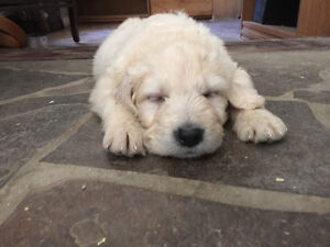 F1 Medium Goldendoodles Gold/cream low shed  hypo allergenic Lex
