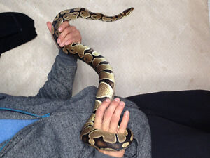 3 foot ball python / 40 gal tank and accessories