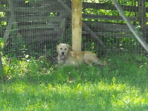 (( WE CAN PICK UP // DROP OFF YOUR DOG !! )) Kawartha Lakes Peterborough Area image 6