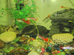 HEALTHY AND FRIENDLY GUPPIES
