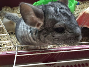 3 yrs old female chinchila for rehoming