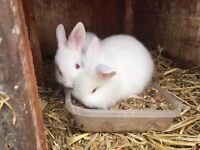 Lionhead cros mini lop baby rabbits
