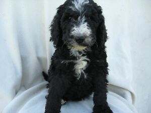 BERNEDOODLE PUPS READY FOR A NEW HOME Kitchener / Waterloo Kitchener Area image 4