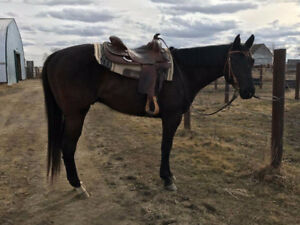 Really nice year 5 year old black AQHA western pleasure gelding