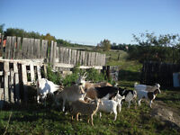 2 nennies goats for sale, from my herd $ 250 & $ 220 weder