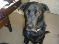 Looking for home for black lab cross