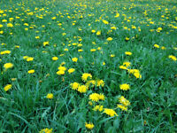 Is your lawn covered with dandelions?