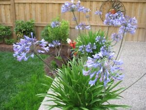Exotic plants for sale -- Perennial Agapanthus $15