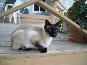 Missing from Silverwood - Siamese Cat