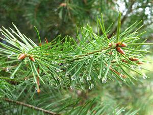 Mature Evergreen Trees