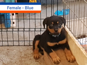 Home2home Adopt Local Dogs Puppies In Saskatoon Kijiji Classifieds