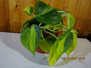 Brazil ( Philodendron Scandens) - Low Light/ Air Purifying Plant