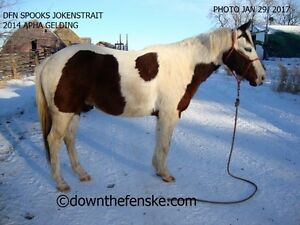 FANCY WELL-STARTED 2014 PAINT GELDING