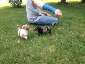 TECKEL MINIATURE CHIOTS A VENDRE/MINI TECKEL PUPPIES