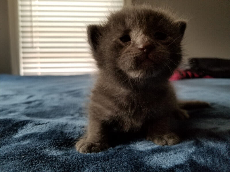 6 ADORABLE BLUE RUSSIAN MIX KITTENS FOR SALE