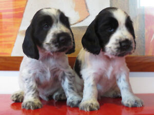 Chiots Puppies Cockers Anglais