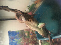 Full grown chinese water dragon