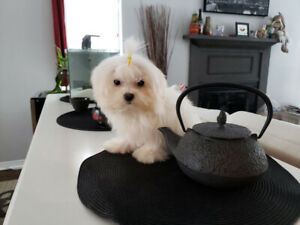 """***TRUE*** """"CHINACUP"""" """"MICRO TCUP"""" MALTESE PUPPIES"""
