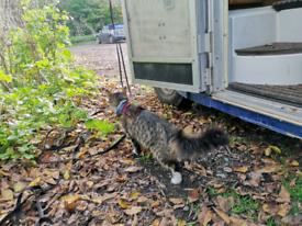 Maine coon kitten cat