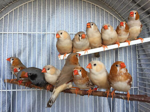 15 Rare zebra finches (NOT MANY FEMALES LEFT)