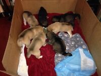Gorgeous Husky/German Shepard Puppies for Sale