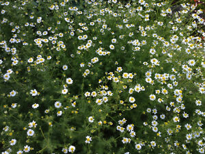 Organic German Chamomile tea for sale