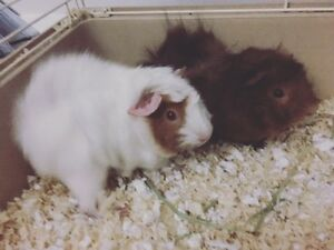 Two female guineas pigs looking for a new home