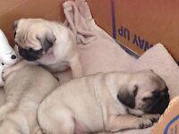 Beautiful KC Reg Pug Puppies