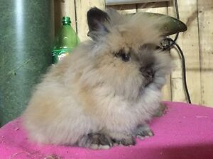 Beautiful Lionhead kits available