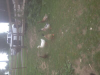 Flock of 12 ducks and bantam and chicken breeds for trade orcash