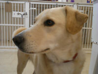 Yellow Lab / Spaniel Mix Available for Adoption