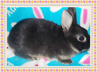 2 NETHERLAND DWARFS AWAIT THEIR FOREVER HOMES