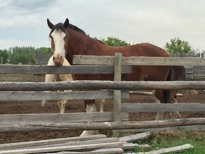 Super Friendly Clydesdale for sale