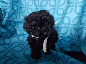 Beautiful little male toy poodle for sale - a vendre