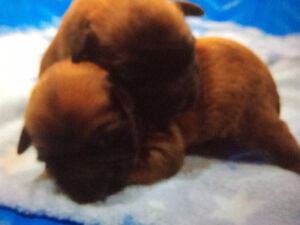 Soft-coated Wheaten Terrier Puppies for Sale