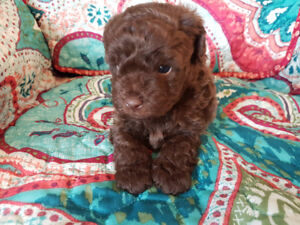 Beautiful toy poodle for sale