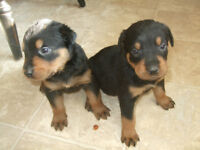 CHIOTS ROTTWEILLERS