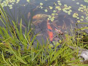Carpe Koi / Pond Koi fish
