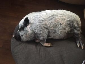 PET PIGGY LOOKING FOR LOVING HOME