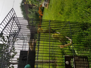 Budgies in need of a quiet home