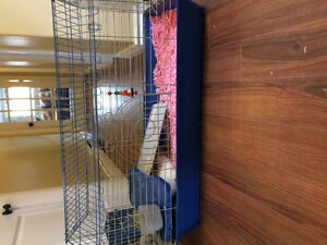 FREE!!Two long haired guinea pigs!! SOLD St. John's Newfoundland image 4