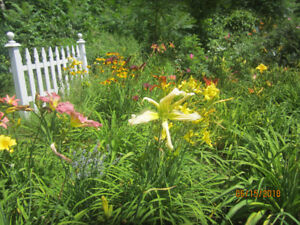 DAYLILIES FOR SALE , POTTED PLANTS AND PLANTS CAN BE DUG UP