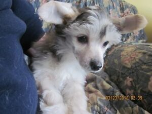 CKC REG'D CHINESE CRESTED
