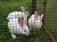 Baby Rabbits £20 each or 2 for £35