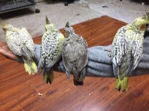 Hand fed Cockatiel Babies